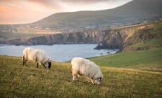 Schapen, Echt Ierland