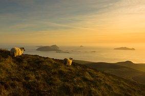 Echt Ierland, Ring of Kerry, schaap, Vakantie ierland
